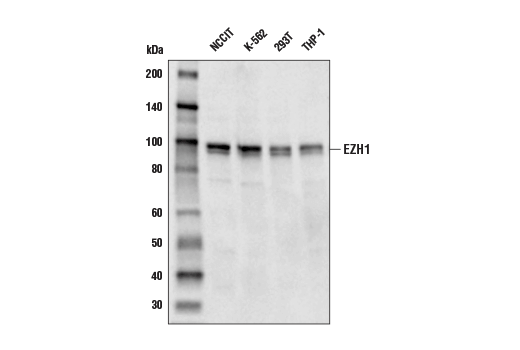 Image 12: Polycomb Group 2 (PRC2) Antibody Sampler Kit