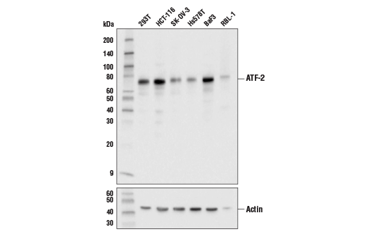 Monoclonal Antibody Immunoprecipitation atf2 - count 2