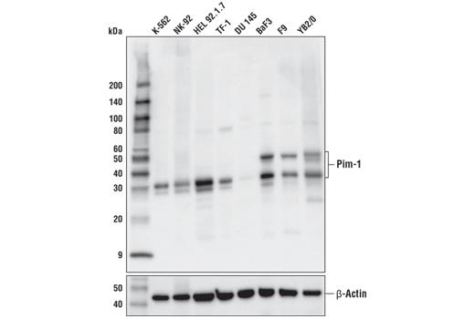 Monoclonal Antibody - Pim-1 (D8D7Y) Rabbit mAb - Immunoprecipitation, Western Blotting, UniProt ID P11309, Entrez ID 5292 #54523, Pim1