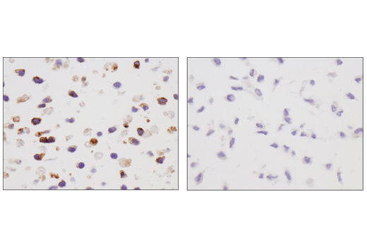 Immunohistochemical analysis of paraffin-embedded EL4 cell pellet (left, positive) or 3T3 cell pellet (right, negative) using VISTA (D5L5T) XP<sup>®</sup> Rabbit mAb.
