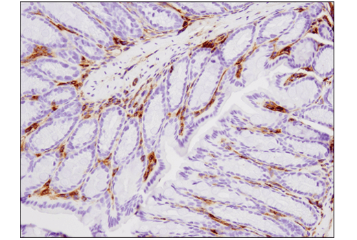 Immunohistochemical analysis of paraffin-embedded mouse colon using VISTA (D5L5T) XP<sup>®</sup> Rabbit mAb.
