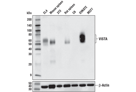 Western blot analysis of extracts from various cell lines and tissues using VISTA (D5L5T) XP<sup>®</sup> Rabbit mAb (upper) and β-actin (D6A8) Rabbit mAb #8457 (lower).