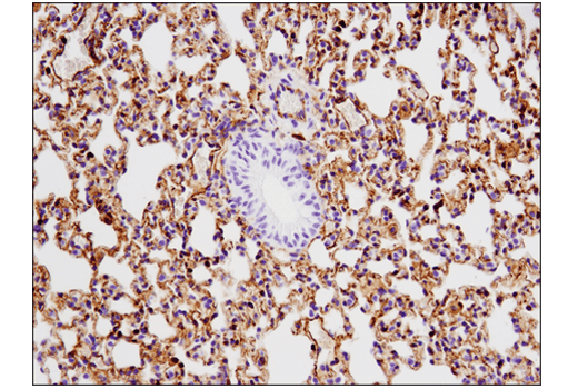 Immunohistochemical analysis of paraffin-embedded mouse lung using VISTA (D5L5T) XP<sup>®</sup> Rabbit mAb.