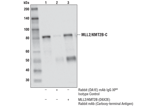 Immunoprecipitation of MLL2/KMT2B from NCCIT cell extracts. Lane 1 is 10% input, lane 2 is Rabbit (DA1E) mAb IgG XP<sup>®</sup> Isotype Control #3900, and lane 3 is MLL2/KMT2B (D6X2E) Rabbit mAb (Carboxy-terminal Antigen). Western blot analysis was performed using MLL2/KMT2B (D6X2E) Rabbit mAb (Carboxy-terminal Antigen).