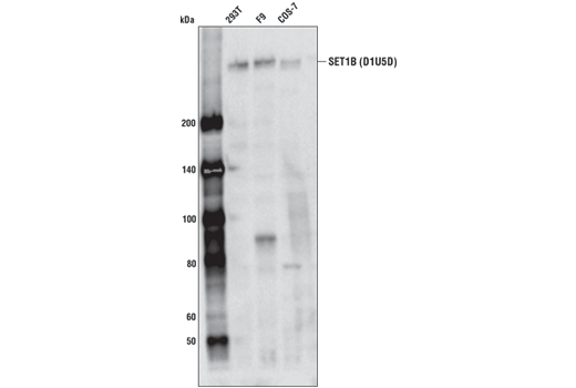 Monoclonal Antibody - SET1B (D1U5D) Rabbit mAb - Immunoprecipitation, Western Blotting, UniProt ID Q9UPS6, Entrez ID 23067 #44922 - Primary Antibodies