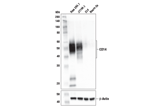 Western blot analysis of extracts from various cell lines using CD14 (D1U2Y) Rabbit mAb (Mouse Specific) (upper) and β-Actin (D6A8) Rabbit mAb #8457 (lower). As expected, CD14 protein is not detected in either EL4 or Neuro-2A cells.