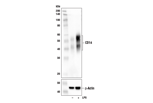 Western blot analysis of extracts from murine bone marrow-derived macrophages (mBMDMs), untreated (-) or treated with LPS #14011 (1 μg/mL, 24 hr; +), using CD14 (D1U2Y) Rabbit mAb (Mouse Specific) (upper) or β-Actin (D6A8) Rabbit mAb #8457 (lower).