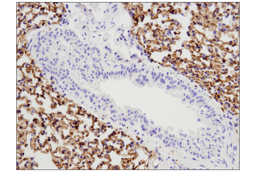 Immunohistochemical analysis of paraffin-embedded mouse lung using Tau (D1M9X) XP<sup>®</sup> Rabbit mAb.