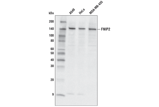 Western blot analysis of extracts from various cell lines using FNIP2 (D3T8Z) Rabbit mAb.