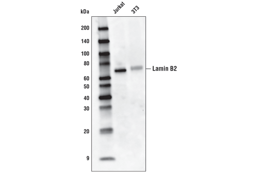 Monoclonal Antibody - Lamin B2 (E1S1Q) Rabbit mAb (HRP Conjugate), UniProt ID Q03252, Entrez ID 84823 #24209 - Primary Antibody Conjugates
