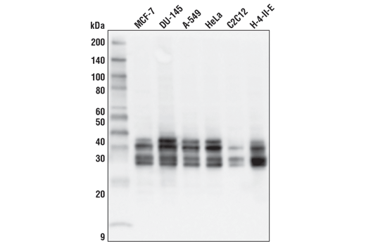 Western blot analysis of extracts from various cell lines using MFF (E5W4M) XP<sup>®</sup> Rabbit mAb.