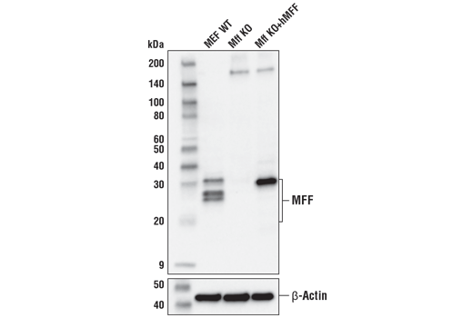 Western blot analysis of extracts from wild-type mouse embryonic fibroblasts (MEFs) (WT), <i>Mff (</i>-/-) MEFs (Mff KO), or <i>Mff </i>(-/-) MEFs reconstituted with a construct expressing human MFF protein, isoform 5 (Mff KO+hMFF) using MFF (E5W4M) XP<sup>®</sup> Rabbit mAb (upper) and β-Actin (D6A8) Rabbit mAb #8457 (lower). Lysates courtesy of Sebastien Herzig and Portia Lombardo, Reuben Shaw lab, Salk Institute.
