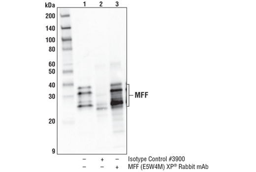 Immunoprecipitation of MFF from HeLa cell extracts. Lane 1 is 10% input, lane 2 is Rabbit (DA1E) mAb IgG XP<sup>®</sup> Isotype Control #3900, and lane 3 is MFF (E5W4M) XP<sup>®</sup> Rabbit mAb. Western blot analysis was performed using MFF (E5W4M) XP<sup>®</sup> Rabbit mAb. Mouse Anti-Rabbit IgG (Conformation Specific) (L27A9) mAb (HRP Conjugate) #5127 was used for detection to avoid cross-reactivity with IgG.