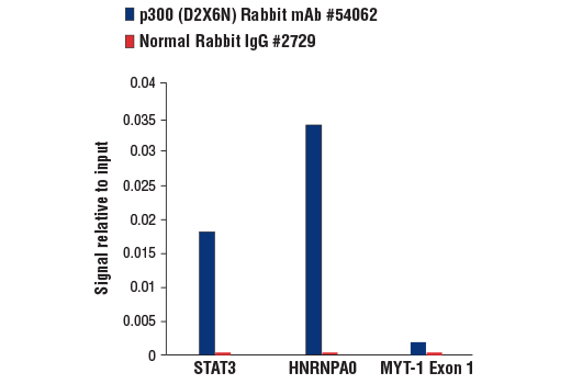 Chromatin immunoprecipitations were performed with cross-linked chromatin from K-562 cells and either p300 (D2X6N) Rabbit mAb or Normal Rabbit IgG #2729 using SimpleChIP<sup>®</sup> Plus Enzymatic Chromatin IP Kit (Magnetic Beads) #9005. The enriched DNA was quantified by real-time PCR using human STAT3 promoter primers, SimpleChIP<sup>®</sup> Human HNRNPA0 Promoter Primers #83602, and SimpleChIP<sup>®</sup> Human MYT-1 Exon 1 Primers #4493. The amount of immunoprecipitated DNA in each sample is represented as signal relative to the total amount of input chromatin, which is equivalent to one.