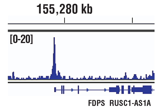 Chromatin immunoprecipitations were performed with cross-linked chromatin from K-562 cells and p300 (D2X6N) Rabbit mAb using SimpleChIP<sup>®</sup> Plus Enzymatic Chromatin IP Kit (Magnetic Beads) #9005. DNA Libraries were prepared using SimpleChIP<sup>®</sup> ChIP-seq DNA Library Prep Kit for Illumina<sup>®</sup> #56795. The figure shows binding across FDPS gene. For additional ChIP-seq tracks, please download the product data sheet.