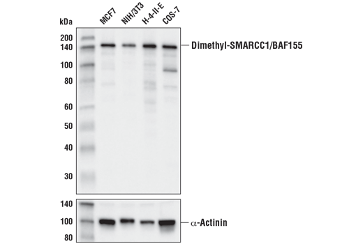 Western blot analysis of extracts from various cell lines using Asymmetric Dimethyl-SMARCC1/BAF155 (D8I3U) Rabbit mAb (upper) or α-Actinin (D6F6) XP<sup>®</sup> Rabbit mAb #6487 (lower).