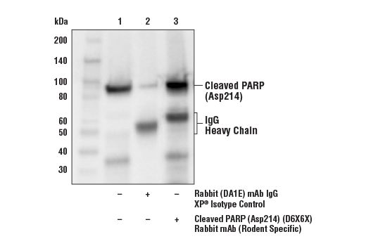 Immunoprecipitation Image 1: Cleaved PARP (Asp214) (D6X6X) Rabbit mAb (Rodent Specific)