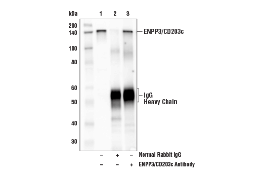 Immunoprecipitation of ENPP3/CD203c from KU812 cell extracts. Lane 1 is 10% input, lane 2 is Normal Rabbit IgG #2729, and lane 3 is ENPP3 Antibody. Western blot analysis was performed using ENPP3/CD203c Antibody. Anti-rabbit heavy chain-specific secondary antibody was used for detection.