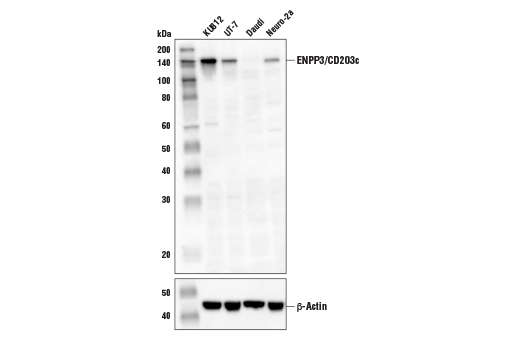 Western blot analysis of extracts from various cell lines using ENPP3/CD203c Antibody (upper) and β-Actin (D6A8) Rabbit mAb #8457 (lower). As expected, ENPP3/CD203c protein is not detected in Daudi cells.