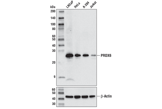Monoclonal Antibody Peroxiredoxin Activity - count 4