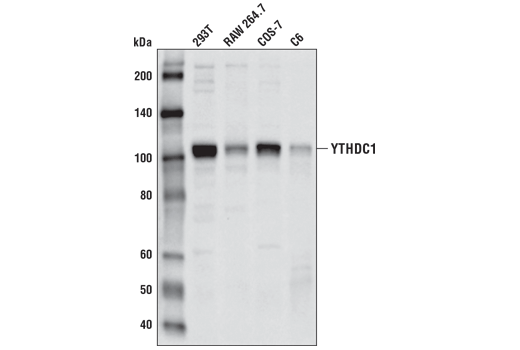 Western blot analysis of extracts from various cell lines using YTHDC1 (P561) Antibody.