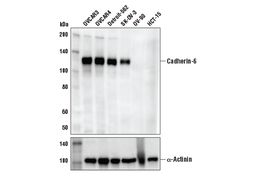 Western blot analysis of extracts from various cell lines using Cadherin-6 (D3T3I) Rabbit mAb (upper) and α-Actinin (D6F6) XP<sup>®</sup> Rabbit mAb #6487 (lower). Specificity of the antibody is confirmed by the absence of detectable signal in extracts from OV-90 and HCT-15 cells, which are negative for cadherin-6 expression.