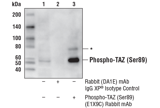 Immunoprecipitation of Phospho-TAZ (Ser89) from A-204 cell extracts. Lane 1 is 10% input, lane 2 is Rabbit (DA1E) mAb IgG XP<sup>®</sup> Isotype Control #3900, and lane 3 is Phospho-TAZ (Ser89) (E1X9C) Rabbit mAb. Western blot analysis was performed using Phospho-TAZ (Ser89) (E1X9C) Rabbit mAb. Mouse Anti-Rabbit IgG (Conformation Specific) (L27A9) mAb (HRP Conjugate) #5127 was used as the secondary antibody. Asterisk (*) indicates weak detection of phosphorylated YAP, due to sequence similarity in the regions surrouding TAZ (Ser89) and YAP (Ser127).