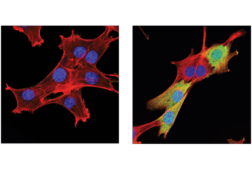 Confocal immunofluorescent analysis of C2C12 cells, serum-starved (left) or treated with Mouse Interferon-γ (mIFN-γ) #5222 (50 ng/ml, 16 hr; right), using IDO (D8W5E) Rabbit mAb (green). Actin filaments were labeled with DyLight™ Phalloidin #13054 (red). Blue pseudocolor = DRAQ5® #4804.