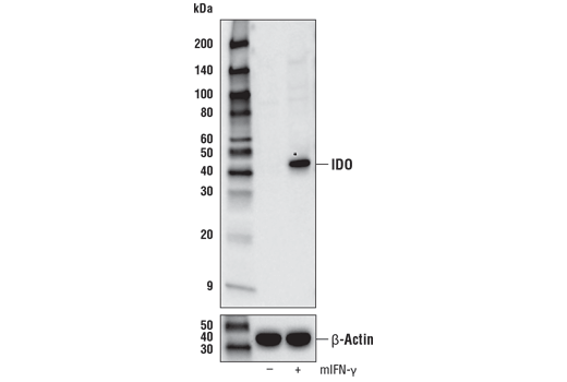 Western blot analysis of extracts from C2C12 cells, untreated (-) or treated with Mouse Interferon-γ (mIFN-γ) #5222 (50 ng/mL, 16 hr; +), using IDO (D8W5E) Rabbit mAb (upper) or β-Actin (D6A8) Rabbit mAb #8457 (lower).