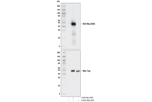Western blot analysis of extracts from 293T cells, untransfected (-), transfected with a construct expressing full-length Myc/DDK-tagged mouse IDO (mIDO-Myc/DDK; +), or transfected with a construct expressing full-length Myc/DDK-tagged mouse IDO2 (mIDO2-Myc/DDK; +), using IDO (D8W5E) Rabbit mAb (upper) or Myc-Tag (71D10) Rabbit mAb #2278 (lower).