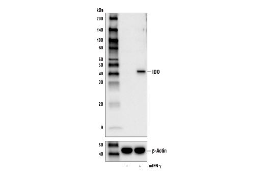 Western blot analysis of extracts from C2C12 cells, untreated (-) or treated with Mouse Interferon-γ (mIFN-γ) #5222 (50 ng/mL, 16 hr; +), using IDO (D7Z7U) Rabbit mAb (upper) or β-Actin (D6A8) Rabbit mAb #8457 (lower).
