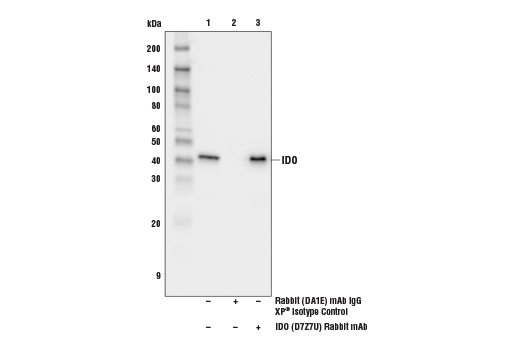 Immunonprecipitation of IDO from extracts of C2C12 cells treated with Mouse Interferon-γ (mIFN-γ) #5222 (50 ng/mL, 16 hr). Lane 1 is 10% input, lane 2 is Rabbit (DA1E) mAb IgG XP<sup>®</sup> Isotype Control #3900, and lane 3 is IDO (D7Z7U) Rabbit mAb. Western blot analysis was performed using IDO (D7Z7U) Rabbit mAb. Mouse Anti-rabbit IgG (Conformation Specific) (L27A9) mAb (HRP Conjugate) #5127 was used as the secondary antibody.