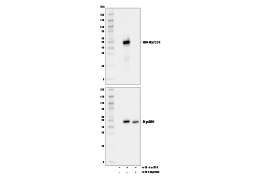 Western blot analysis of extracts from 293T cells, untransfected (-), transfected with a construct expressing full-length Myc/DDK-tagged mouse IDO (mIDO-Myc/DDK; +), or transfected with a construct expressing full-length Myc/DDK-tagged mouse IDO2 (mIDO2-Myc/DDK; +), using IDO (D7Z7U) Rabbit mAb (upper) or Myc-Tag (71D10) Rabbit mAb #2278 (lower).