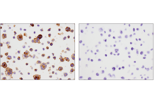 Immunohistochemical analysis of paraffin-embedded HDLM-2 cell pellet (left, positive) or HT-29 cell pellet (right, negative) using 4-1BB/CD137/TNFRSF9 (D2Z4Y) Rabbit mAb
