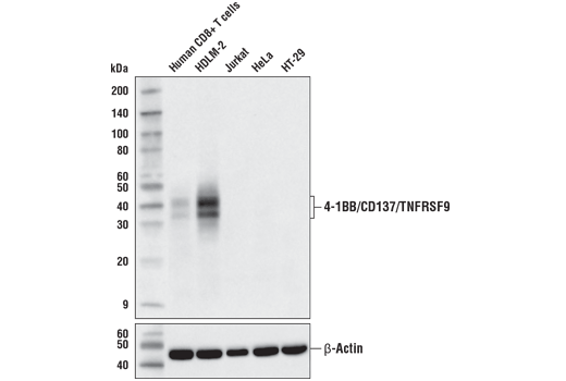 Western blot analysis of extracts from primary human CD8+ T cells, treated with anti-CD3 and anti-CD28 in the presence of human interleukin-2, and various cell lines using 4-1BB/CD137/TNFRSF9 (D2Z4Y) Rabbit mAb (upper) and β-Actin (D6A8) Rabbit mAb #8457 (lower).
