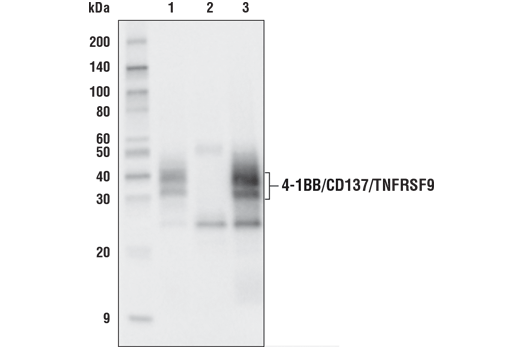 Immunoprecipitation of 4-1BB/CD137/TNFRSF9 from HDLM-2 cell extracts. Lane 1 is 10% input, lane 2 is Rabbit (DA1E) mAb IgG XP<sup>®</sup> Isotype Control #3900, and lane 3 is 4-1BB/CD137/TNFRSF9 (D2Z4Y) Rabbit mAb. Western blot analysis was performed using 4-1BB/CD137/TNFRSF9 (D2Z4Y) Rabbit mAb. Mouse Anti-rabbit IgG (Conformation Specific) (L27A9) mAb (HRP Conjugate) #5127 was used as the secondary antibody.