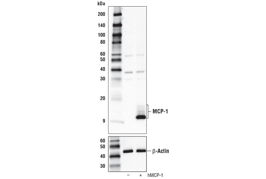 Western blot analysis of extracts from 293T cells, mock transfected (-) or transfected with a construct expressing human MCP-1 protein (hMCP-1; +), using MCP-1 Antibody (Carboxy-terminal Antigen) (upper) or β-actin (D6A8) Rabbit mab #8457 (lower).