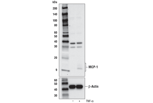Western blot analysis of extracts from A549 cells, untreated (-) or treated with TNF-α (20 ng/ml, 6 hr; +), using MCP-1 Antibody (Carboxy-terminal Antigen) (upper) or β-Actin (D6A8) Rabbit mAb #8457 (lower).