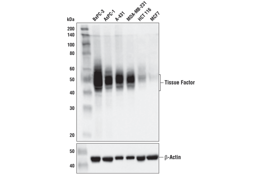 Western blot analysis of extracts from various cell lines using Tissue Factor/CD142 (E9M6T) XP<sup>®</sup> Rabbit mAb (upper) and β-Actin (D6A8) Rabbit mAb #8457 (lower). As expected, Tissue Factor/CD142 protein is expressed at low levels in MCF7 and HCT 116 cells.