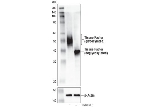 Western blot analysis of extracts from MDA-MB-231 cells, untreated (-) or treated with PNGase F (+), using Tissue Factor/CD142 (E9M6T) XP<sup>®</sup> Rabbit mAb (upper) and β-Actin (D6A8) Rabbit mAb #8457 (lower).