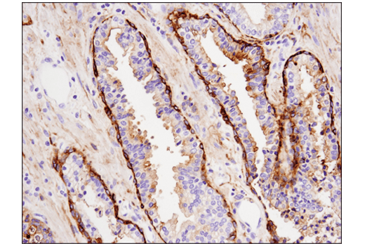 Immunohistochemistry Image 6: Tissue Factor/CD142 (E9M6T) XP® Rabbit mAb