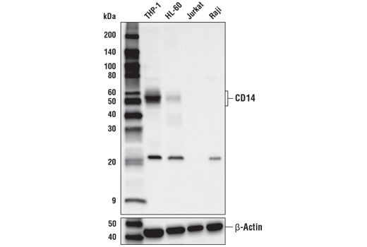 Western blot analysis of extracts from various cell lines using CD14 (D7A2T) Rabbit mAb (upper) or β-Actin (D6A8) Rabbit mAb #8457 (lower).