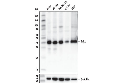 Monoclonal Antibody - CrkL (D4G7G) Rabbit mAb - Immunoprecipitation, Western Blotting, UniProt ID P46109, Entrez ID 1399 #38710 - Primary Antibodies