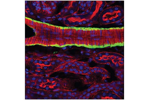 Immunofluorescence Image 1: α-Smooth Muscle Actin (1A4) Mouse mAb (Alexa Fluor® 488 Conjugate)