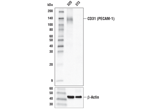 Western blot analysis of extracts from 32D cells (CD31/PECAM-1 positive) and 3T3 cells (CD31/PECAM-1 negative) using CD31 (PECAM-1) (D8V9E) XP<sup>®</sup> Rabbit mAb (HRP Conjugate) (upper) and β-Actin (D6A8) Rabbit mAb #8457 (lower).