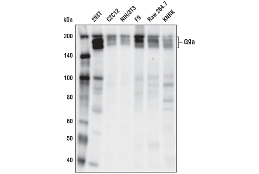Western blot analysis of extracts from various cell lines using G9a/EHMT2 (D5R4R) XP<sup>®</sup> Rabbit mAb.