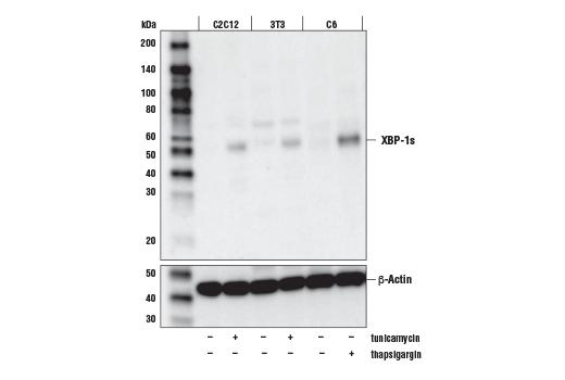 Human xbp1s Mouse - count 2