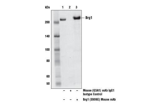 Immunoprecipitation of Brg1 from HeLa cell extracts. Lane 1 is 10% input, lane 2 is Mouse (G3A1) mAb IgG1 Isotype Control #5415, and lane 3 is Brg1 (E9O6E) Mouse mAb. Western blot analysis was performed using Brg1 (E9O6E) Mouse mAb.