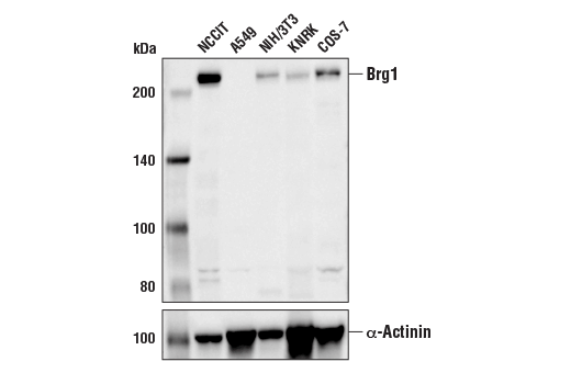 Western blot analysis of extracts from various cell lines using Brg1 (E9O6E) Mouse mAb (upper) and α-Actinin (D6F6) XP<sup>®</sup> Rabbit mAb #6487 (lower). As expected, A549 cells do not express Brg1.