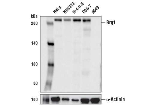 Western blot analysis of extracts from various cell lines using Brg1 (E8V5B) Mouse mAb (upper) and α-Actinin (D6F6) XP<sup>®</sup> Rabbit mAb #6487 (lower).
